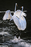 Great Egrets (大白鷺)