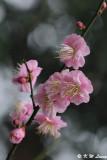 Plum blossom DSC_4400