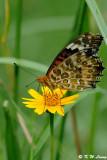 Argyreus hyperbius DSC_9031