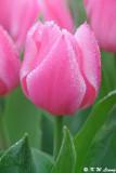 Tulip DSC_9191