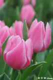 Tulip DSC_9193
