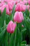 Tulip DSC_9209