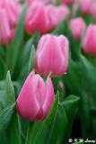 Tulip DSC_9213