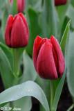 Tulip DSC_9223