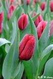 Tulip DSC_9227
