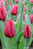 Tulip DSC_9224