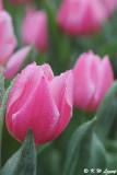 Tulip DSC_9201
