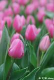 Tulip DSC_9198