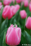 Tulip DSC_9215