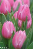 Tulip DSC_9192