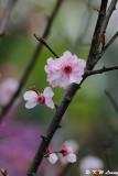 Plum blossom DSC_9502