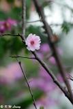Plum blossom DSC_9488