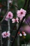 Plum blossom DSC_9508