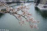 Sakura DSC_2670