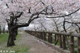 Sakura DSC_2660