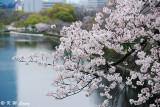 Sakura DSC_2634