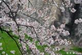 Sakura DSC_2635