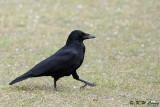 Crow DSC_3073