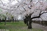 Sakura DSC_2658