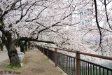 Sakura DSC_2667