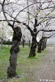Sakura DSC_2661