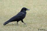 Crow DSC_3072