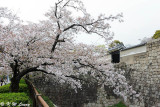 Sakura DSC_2602