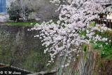 Sakura DSC_2633