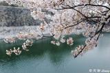 Sakura DSC_2671