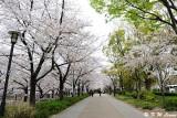 Sakura DSC_2584
