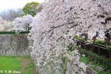 Sakura DSC_2624