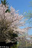 Sakura DSC_2706
