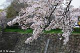 Sakura DSC_2630