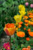 Tulip DSC_3454
