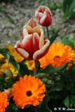Tulip DSC_3452