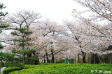 Sakura DSC_2598