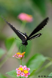 Papilio polytes DSC_1533