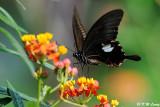 Papilio helenus DSC_5367