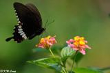 Papilio polytes DSC_5378