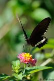 Papilio polytes DSC_8494