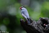 Java sparrow DSC_0230