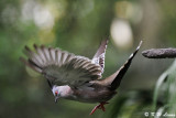 Crested Pigeon (冠鳩)