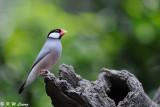 Java sparrow DSC_0239