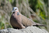 Spotted Dove DSC_7643