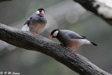 Java sparrow DSC_0240