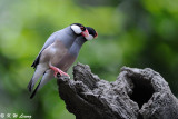 Java sparrow DSC_0233
