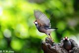 Java sparrow DSC_0685