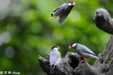 Java sparrow DSC_1034