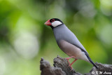 Java sparrow DSC_0719