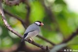 Java sparrow DSC_1096